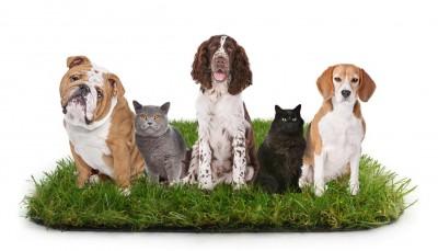 Illustration : Le gazon artificiel est-il adapté aux animaux de compagnie ?